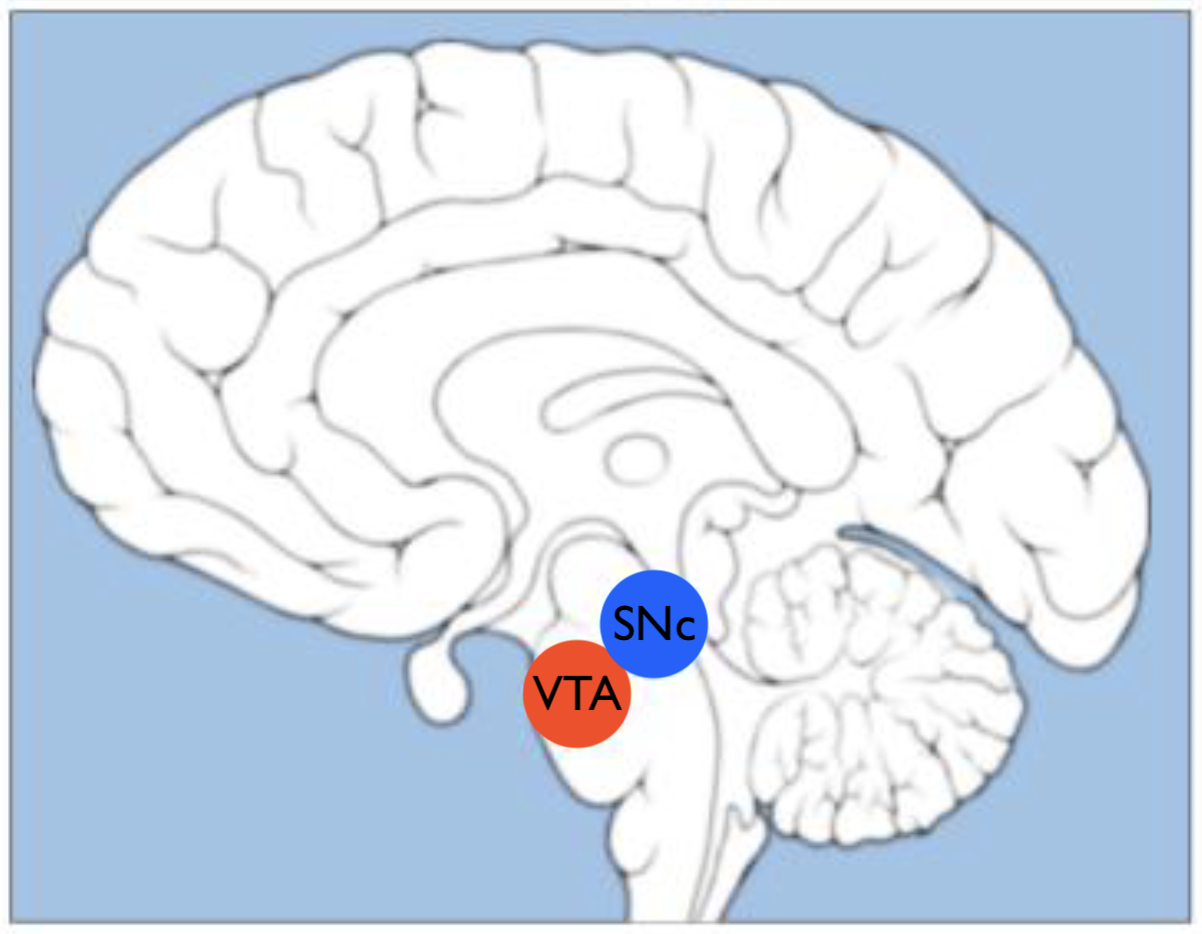 The VTA and SNc within the brain